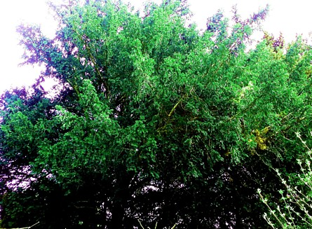 If commun Taxus Baccata